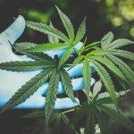 cannabis per droghe leggere
